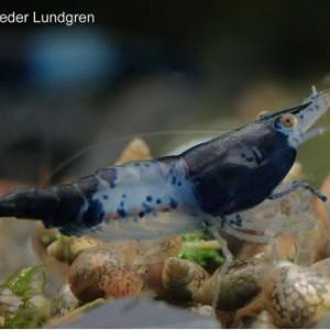 Crevettes Rili Blue Carbon