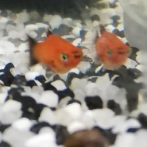 Donne 4 Bébés Platy orange nageoires noires