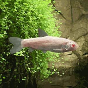 Carpe amour albinos (7 à 10 cm)