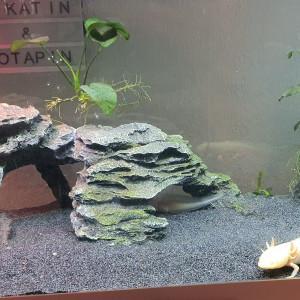Œufs axolotl