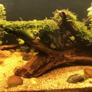 Racine de mangrove