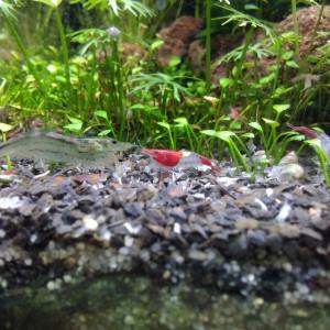 Crevettes Red Rili