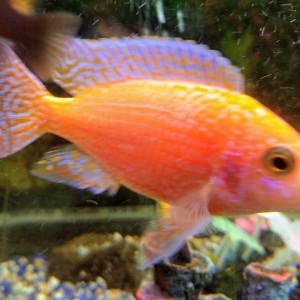 Aulonocara Red Firefish