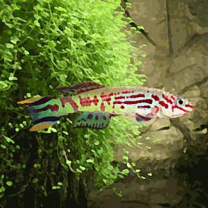 Aphyosemion spoorenbergi