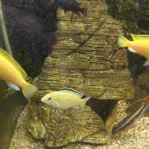 Alevins de Labidochromis  careleus