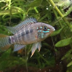 Diffusion de poissons d'Amérique du Sud
