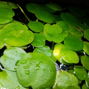 Plante flottante ( Limnobium Laevigatum) aquarium d'eau chaude toutes espèces