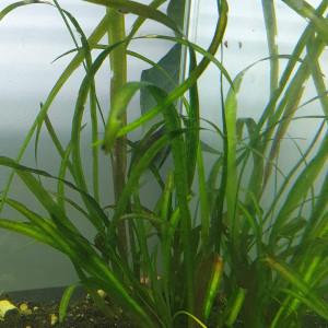 3 Vallisneria - Plante d'aquarium