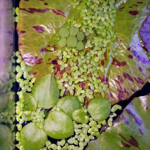 3 Grenouilles - Plante d'aquarium