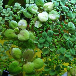15 Salvinia minima - Plante d'aquarium