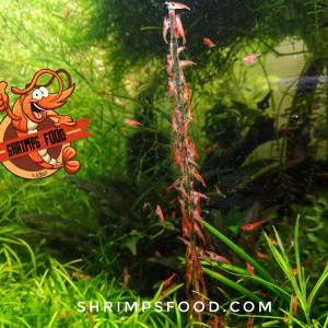 Lollies Orties pour crevettes SHRIMPS food fabrication française