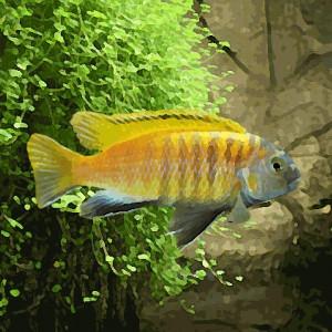 Pseudotropheus tropheops red fin (environ 5 cm)
