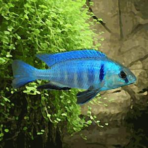 Haplochromis electra