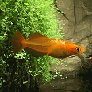 "Medaka orange ""youkihi"""