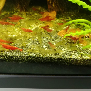 Crevettes MALAWA mini japonica
