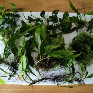 Lot de plantes Epiphytes (Anubias, Fougère et Mousse de java)