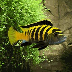 Pseudotropheus flavus (environ 5 cm)