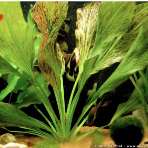 Echinodorus Ozelot Gold