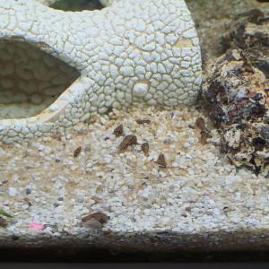 Escargot Melanoide