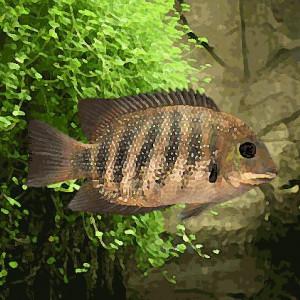 Etroplus suratensis (environ 6 cm)