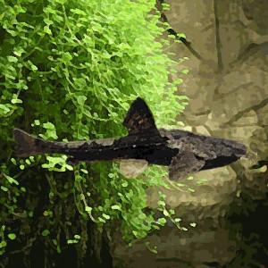 Bunocephalus banjo