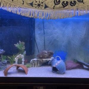 Axolotl femelle a vendre