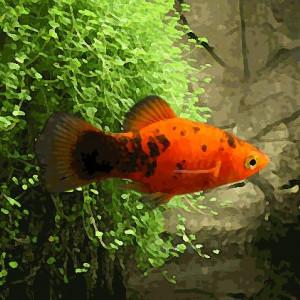 Platy calico rouge (environ 3.5 cm)