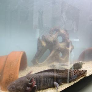 Axolotls adultes