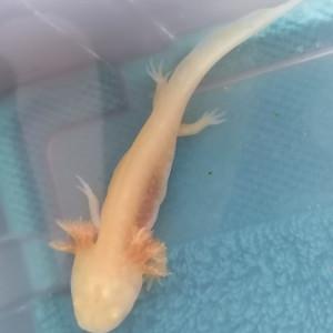 Axolotl gold albinos