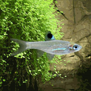 Rasbora emeraude yeux vert (environ 2 cm)