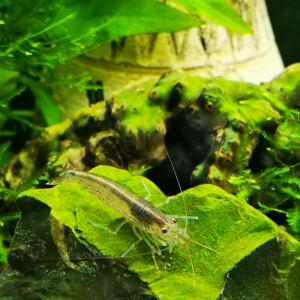 Caridina multidentata (Japonica /Amano)