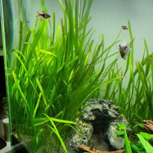 Plante d'aquarium Vallisneria