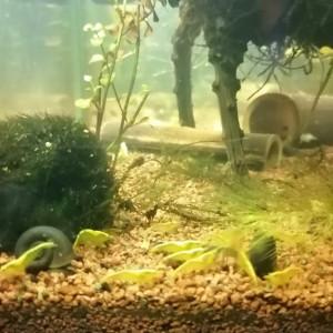 Crevette yellow Néon