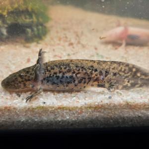 axolotls >10cm à vendre ! (gold/albinos/sauvage)