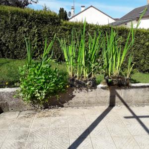 plantes pour bassin , étang ou lagunage