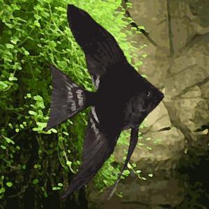 Scalaire noir voile long (environ 4 cm)