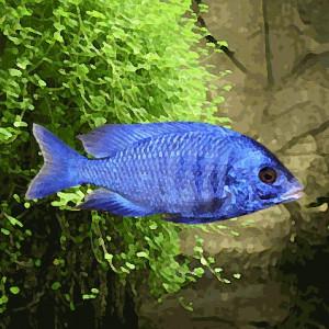 Haplochromis phenochilus (environ 5 cm)
