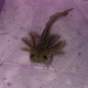 Réservation axolotl juvéniles