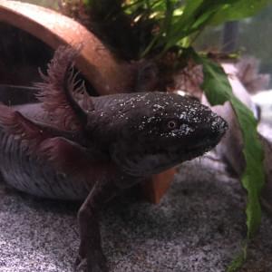DON urgent 3 axolotl