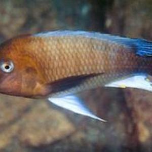 Petrochromis famula Kambwimba F1