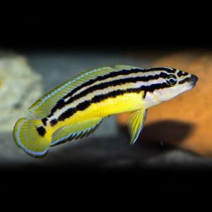 Julidochromis ornatus F1