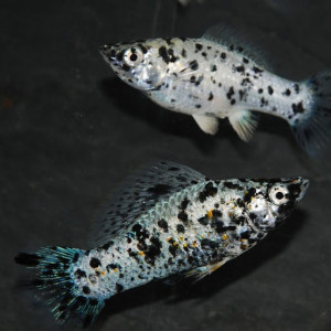 poecilia shenops (mollys) 3€ les 6 ou  5€ les12 echange possible contre Paracheirodon axelrodi (cardinalis)
