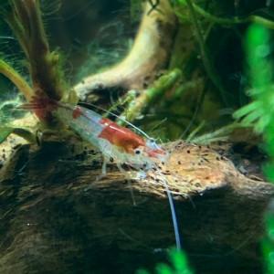 crevettes neocaridina