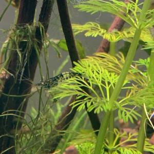 crevettes neocaridina carbon rili blue