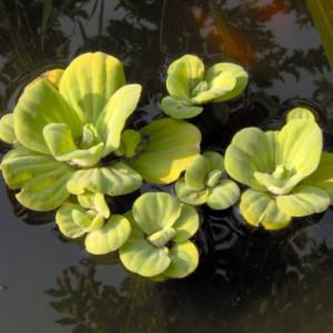 Laitue d'eau (15 à 20 cm)