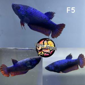 Femelle combattante F5