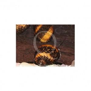 Donne 6 escargots Neritina sp. Batik snail (tous jeunes) idéal bac 100 -200 l