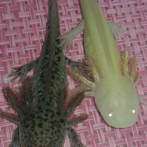 Axolotls gold et type sauvage