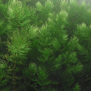 Plantes d'aquarium flottantes ou à planter Ceratophyllum