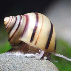 Asolene spixi escargots d'eau douce